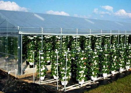 Сорта и технология выращивание клубники 591
